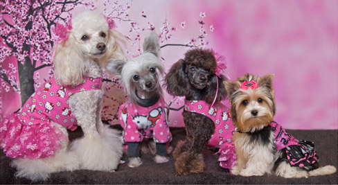 yorkies in cute outfits